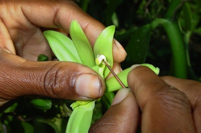 The orchids that produce vanilla beans have no natural pollinators in Madagascar; the plant must be pollinated by hand — a labor-intensive process with little margin for erro