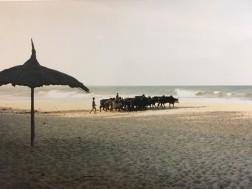 Zebu in Sambava