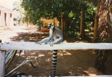 Ring-tailed lemur posing