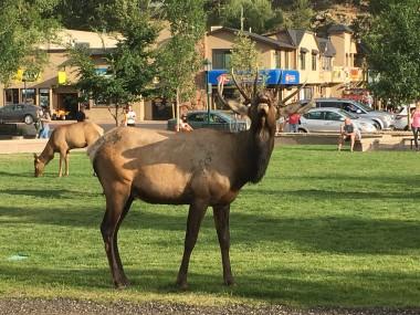 Elk drama