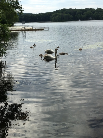 Swan and cignets2