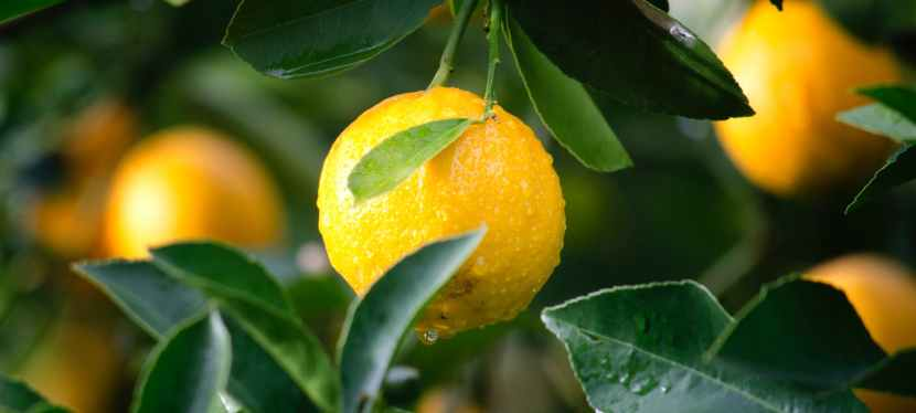 The Parable of the Lemon Seed